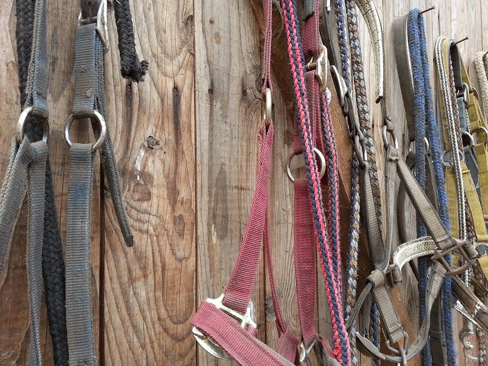Bridles hanging and stored in a tack room